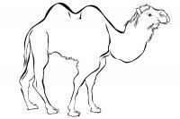 Двугорбый верблюд Скачать раскраски для мальчиков