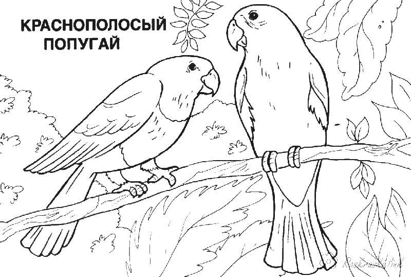 Краснополосый попугай Распечатать раскраски для мальчиков