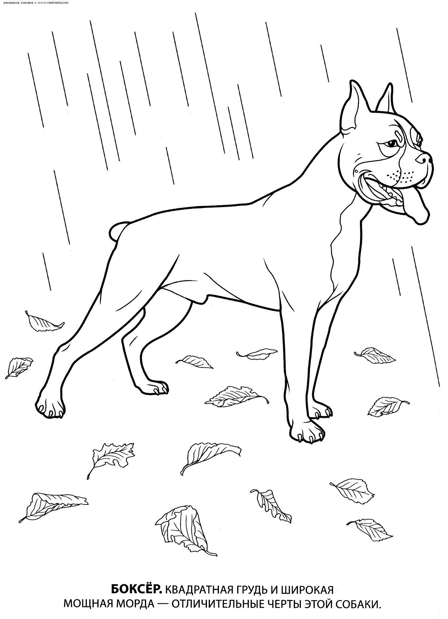 Собака боксер Скачать раскраски для мальчиков